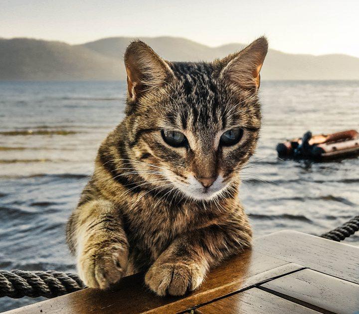 Gatto traghettatore